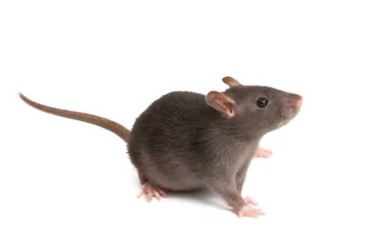 difference-souris-rats