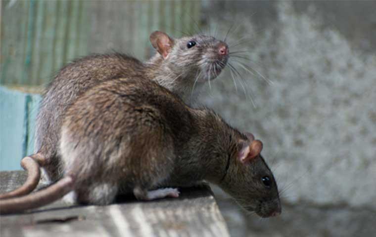 rat-souris-maison
