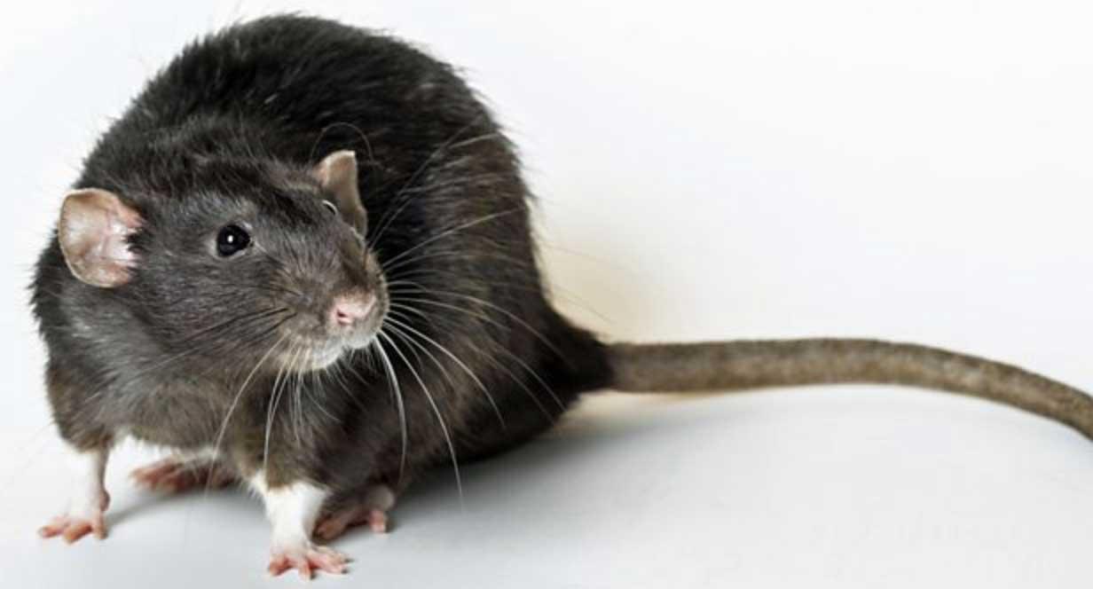 rats-souris-caracteristiques